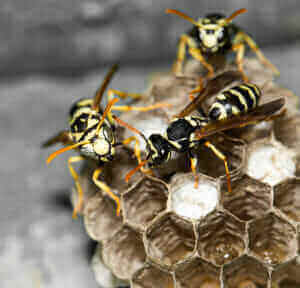 Foundatioin Pest Control Wasps