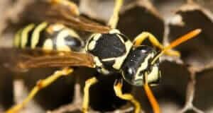 Foundatioin Pest Control Yellow Jacket