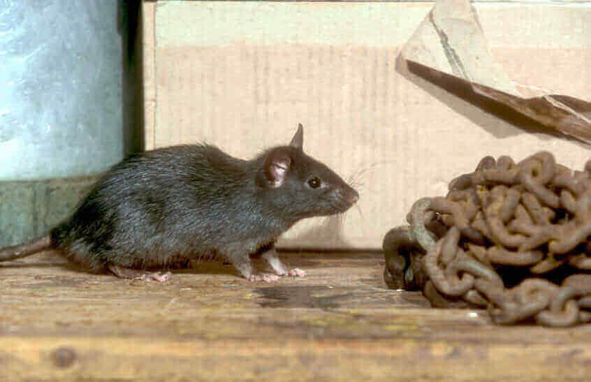 Foundatioin Pest Control Roof Rat