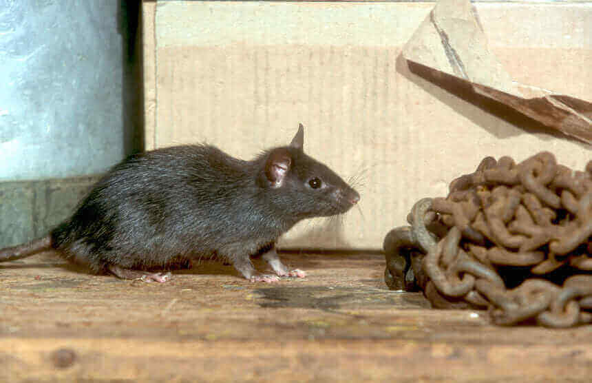 Roof Rat Signs 5 Signs You Have A Roof Rat Problem