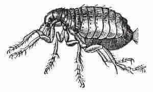 Foundatioin Pest Control Fleas