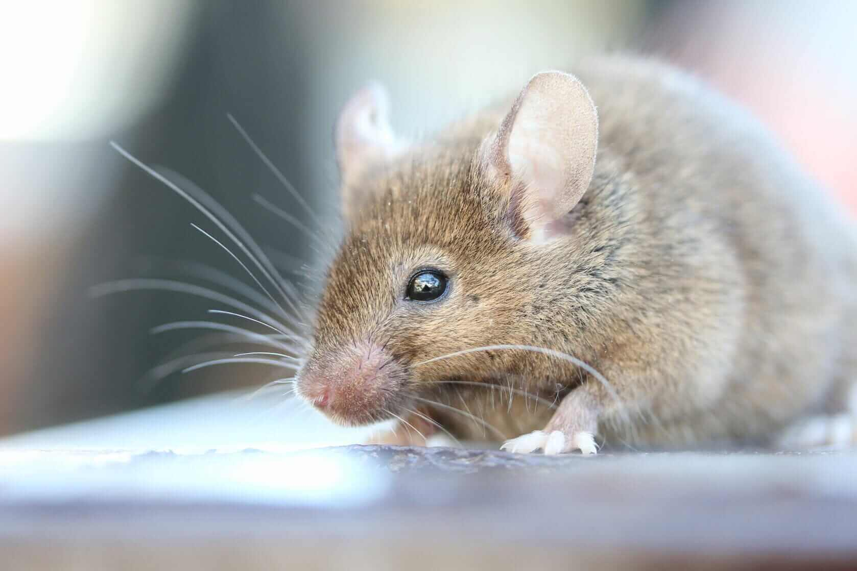 """Featured image for """"Mice"""""""