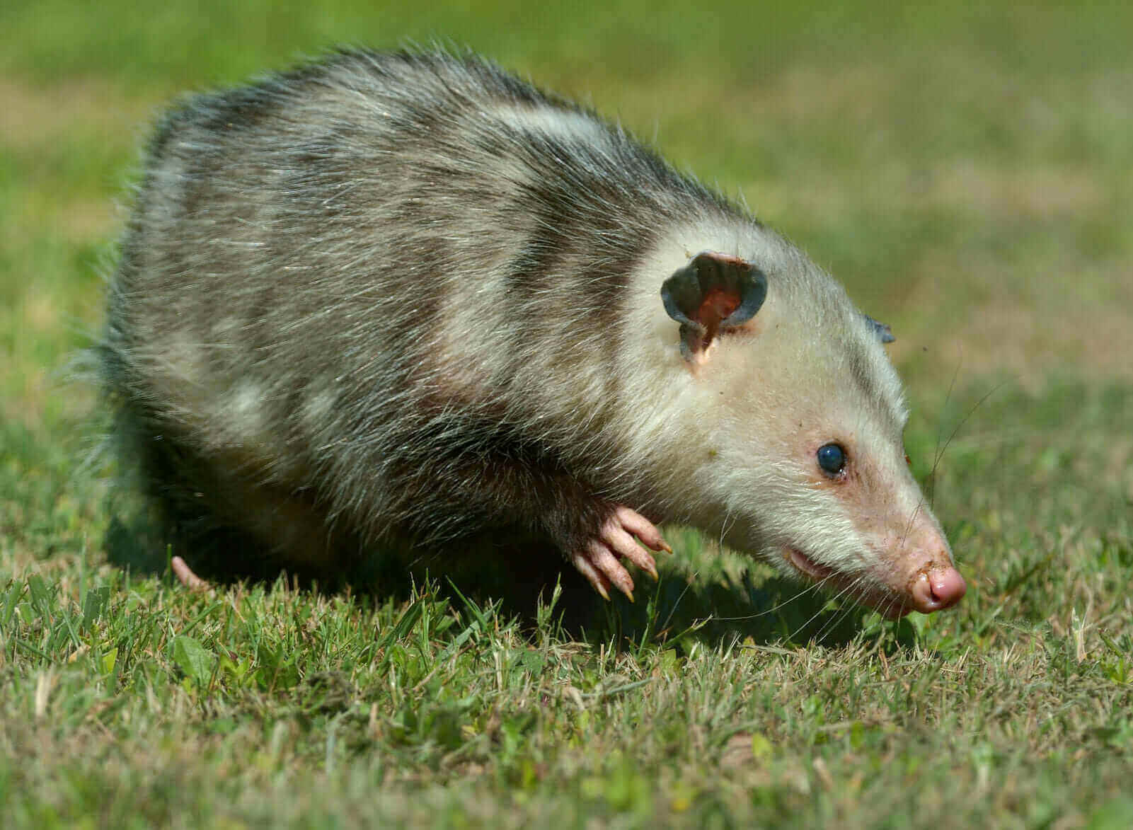 """Featured image for """"Opossums"""""""