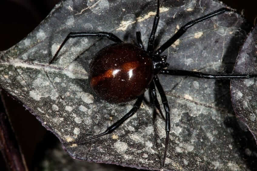 black widow spider Foundation Pest Control