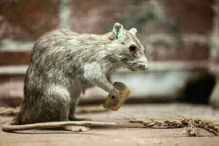 """Featured image for """"Roof Rats"""""""