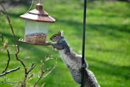 Cómo mantener a las ardillas fuera de alimentadores de aves y jardines