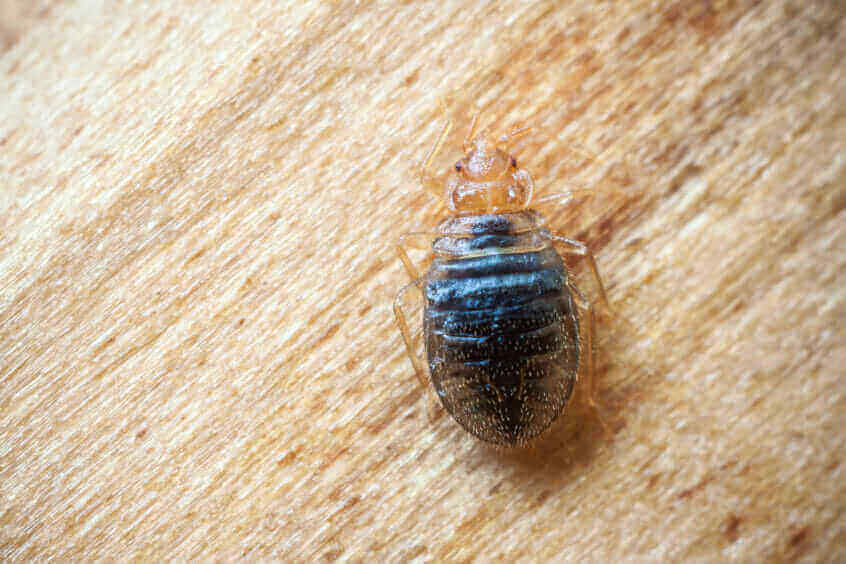 What Do Bed Bugs Look Like Foundation Pest Control