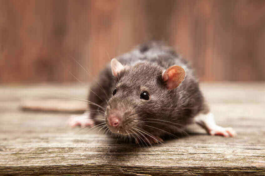 Rodents Get Into Your Home Foundation Pest Control