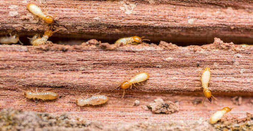Types Of Termites
