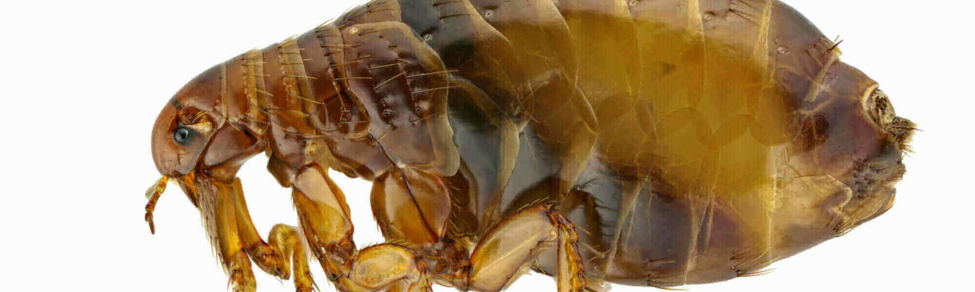 """Featured image for """"Fleas"""""""