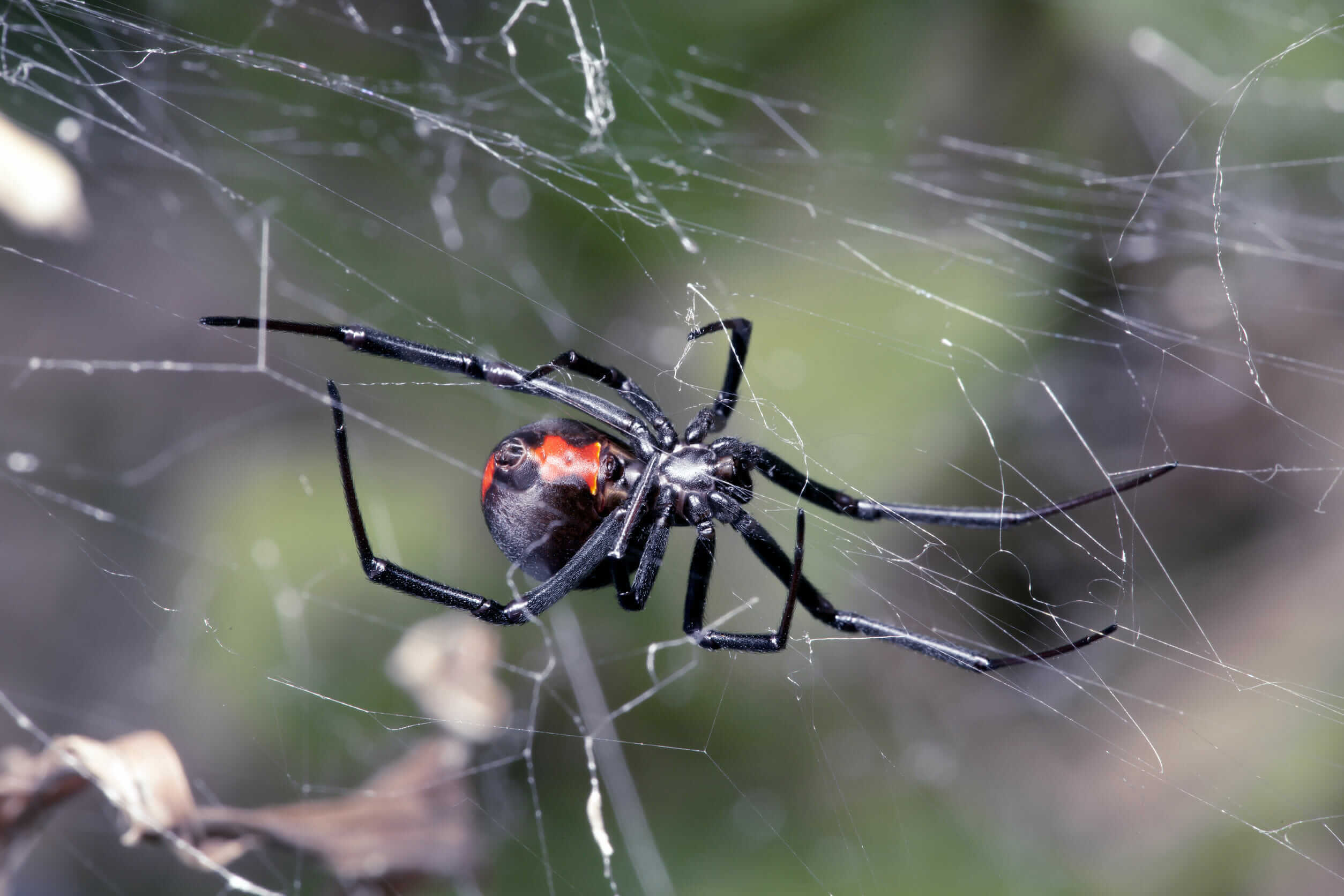 """Featured image for """"Black Widow Spiders"""""""