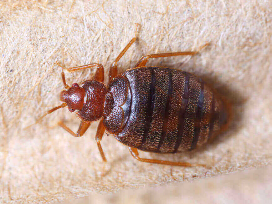 How Fast Do Bed Bugs Spread Foundation Pest Control