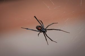 black widow spider pest control - foundation pest control memphis