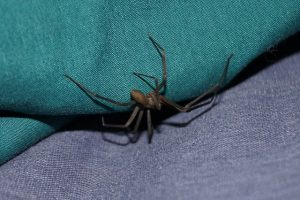 brown recluse spider pest control - foundation pest control memphis