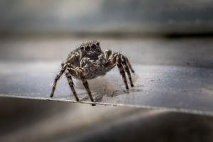 jumping spider pest control - foundation pest control memphis