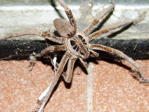 wolf spider pest control - foundation pest control memphis