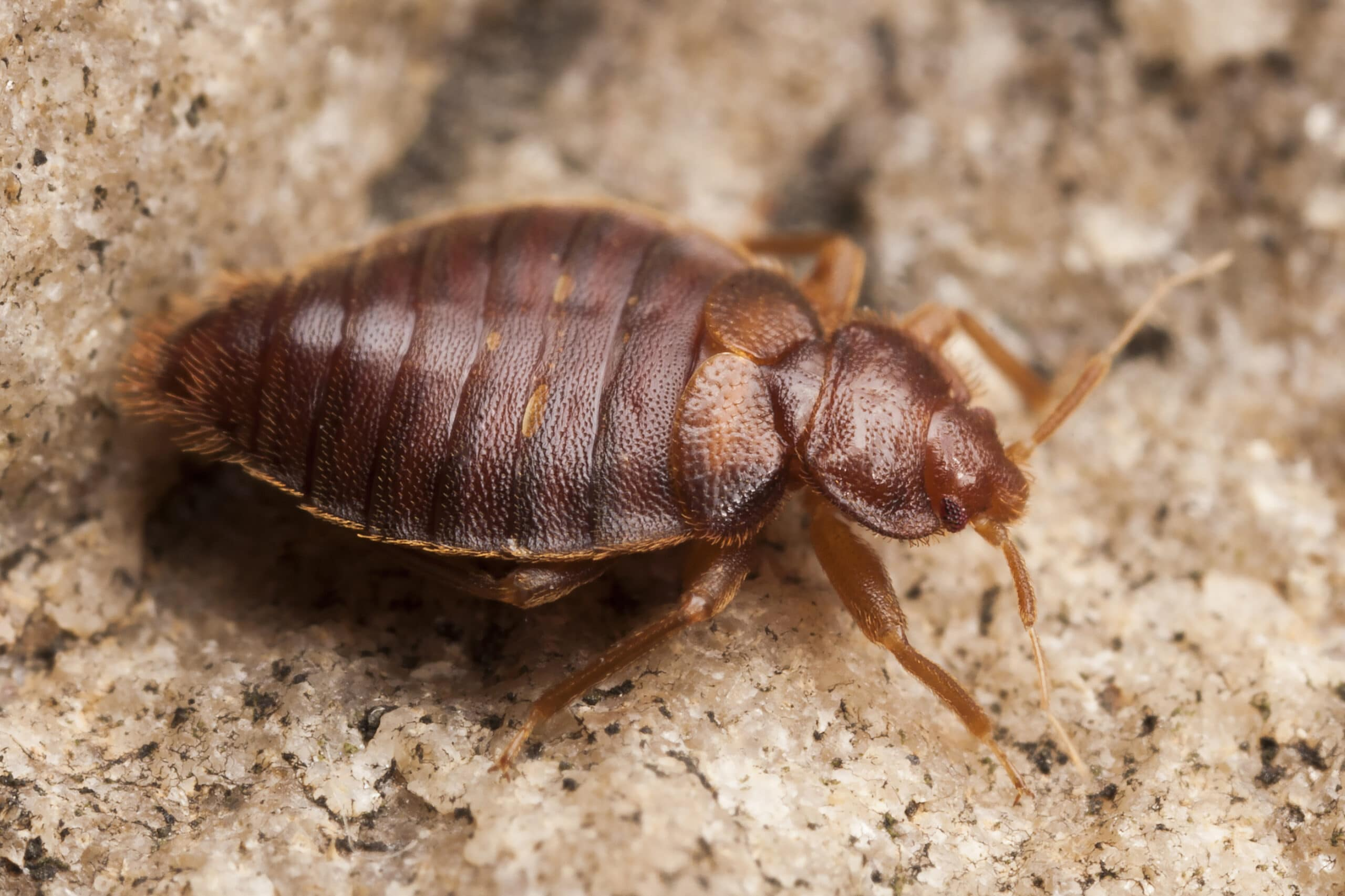 How To Kill Bed Bugs