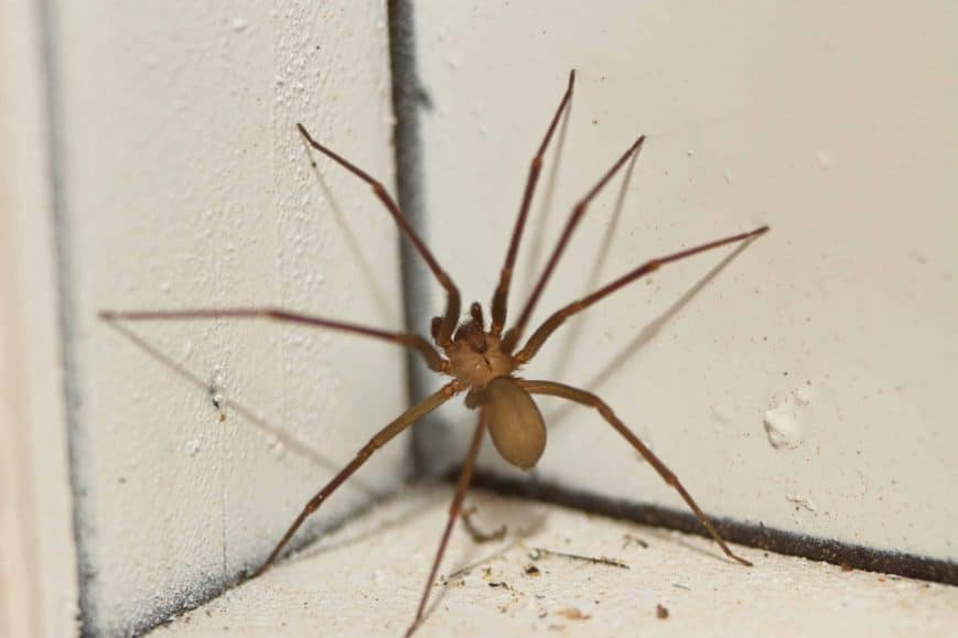 Brown Recluse Spider Treatments Foundation Pest Control Memphis