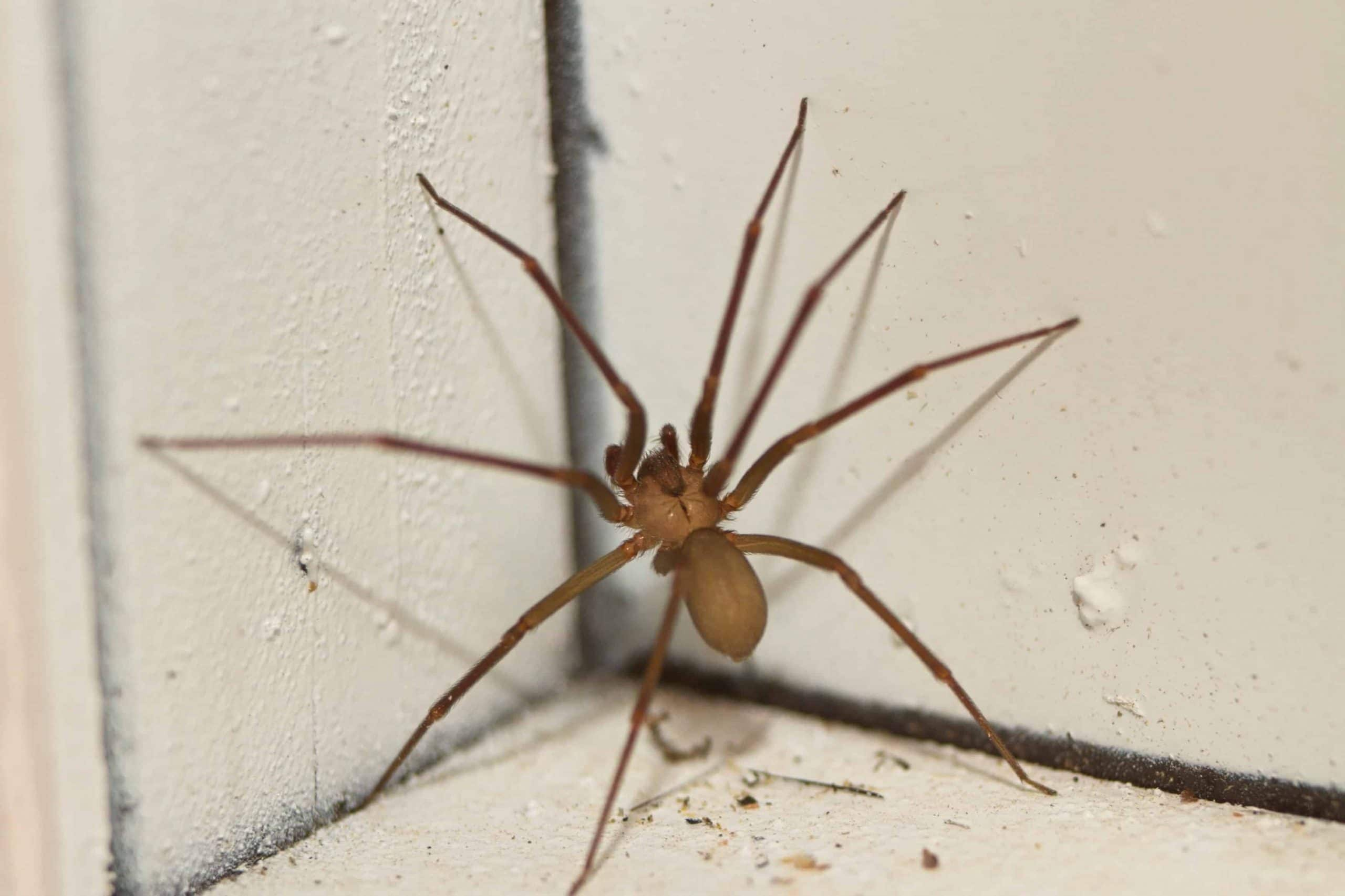 brown recluse spider treatments Foundation Pest Control