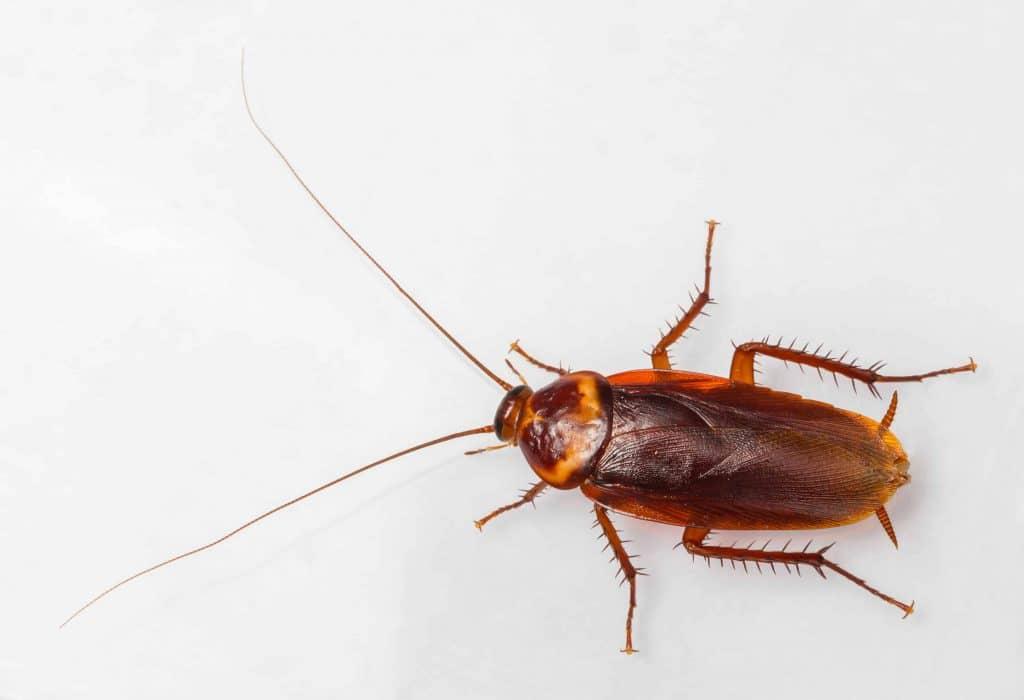 American Cockroach Foundation Pest Control Memphis