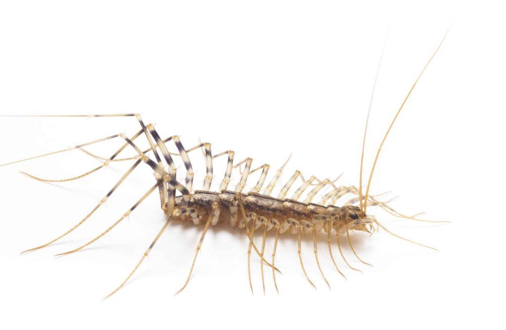 Centipedes Foundation Pets Control Memphis