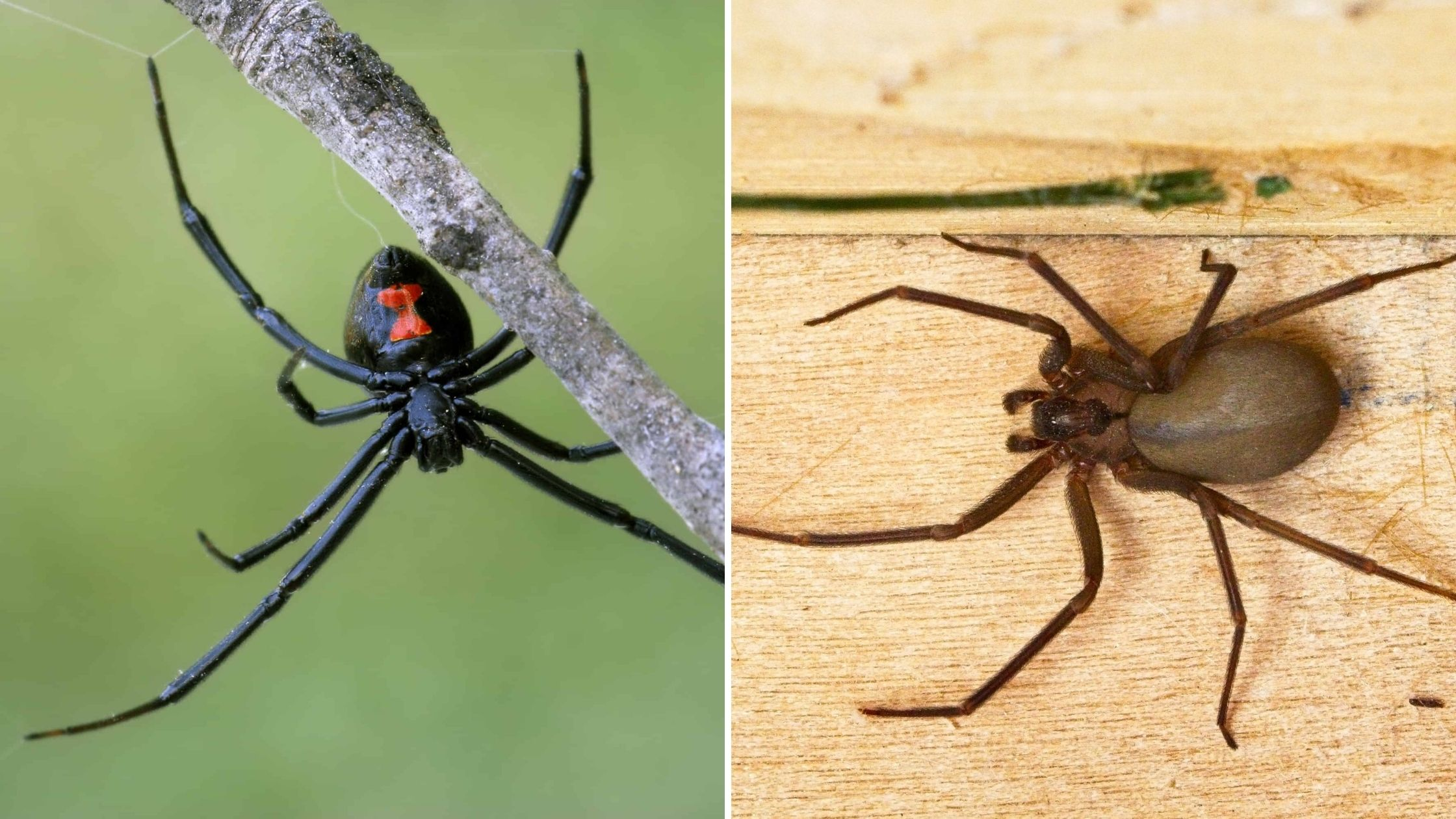 "Featured image for ""What's the difference between Black Widow And Brown Recluse spiders?"""