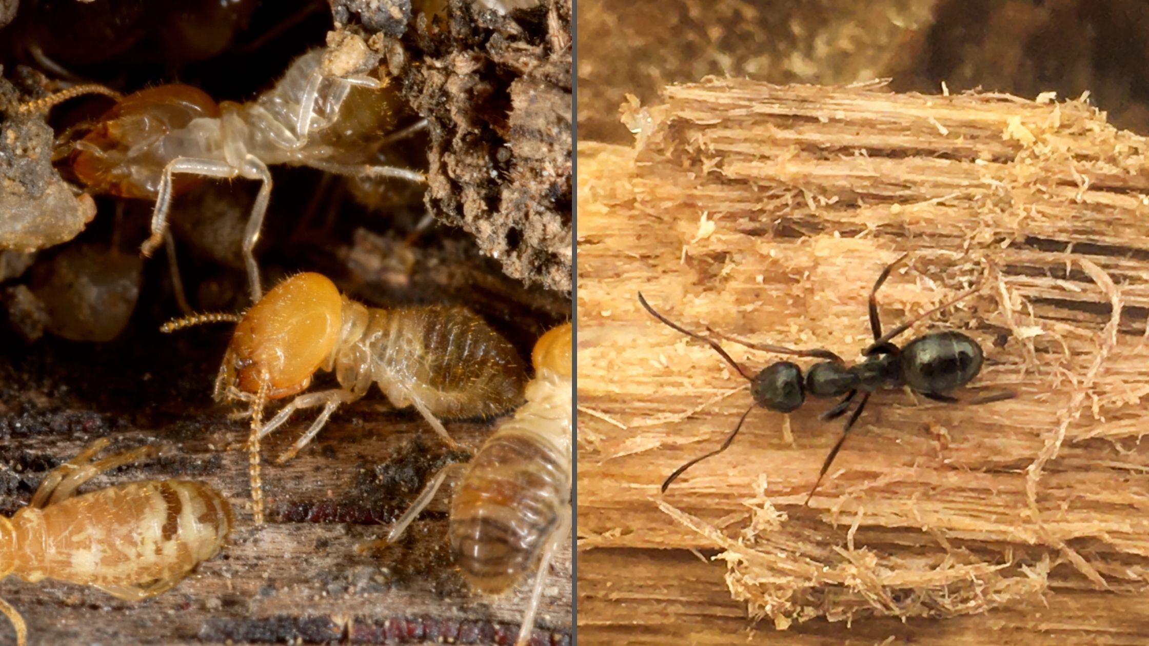 Differences Between Carpenter Ants and Termites Foundation Pest Control