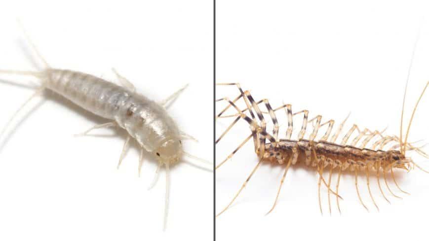 Foundation Pest Control Centipede Silverfish