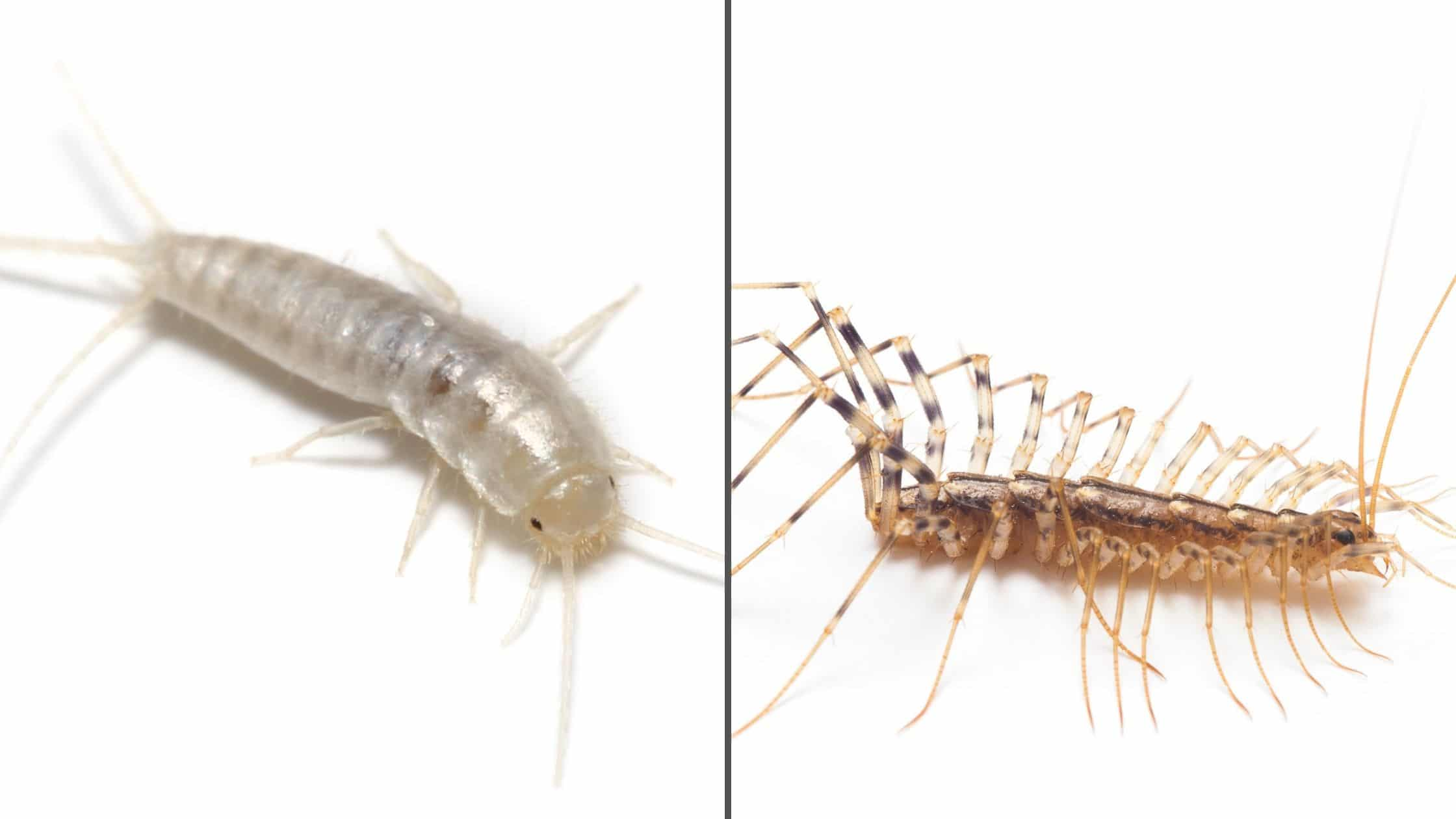Difference Between Centipedes and Silverfish Foundation Pest Control