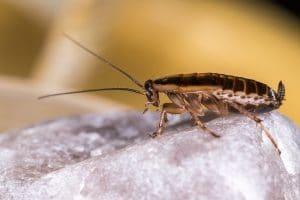 German Cockroach Foundation Pest Control Memphis