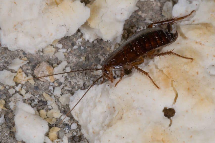 Oriental Cockroach Foundation Pest Control Memphis
