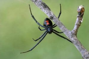 black widow spider Foundation Pest Control Memphis