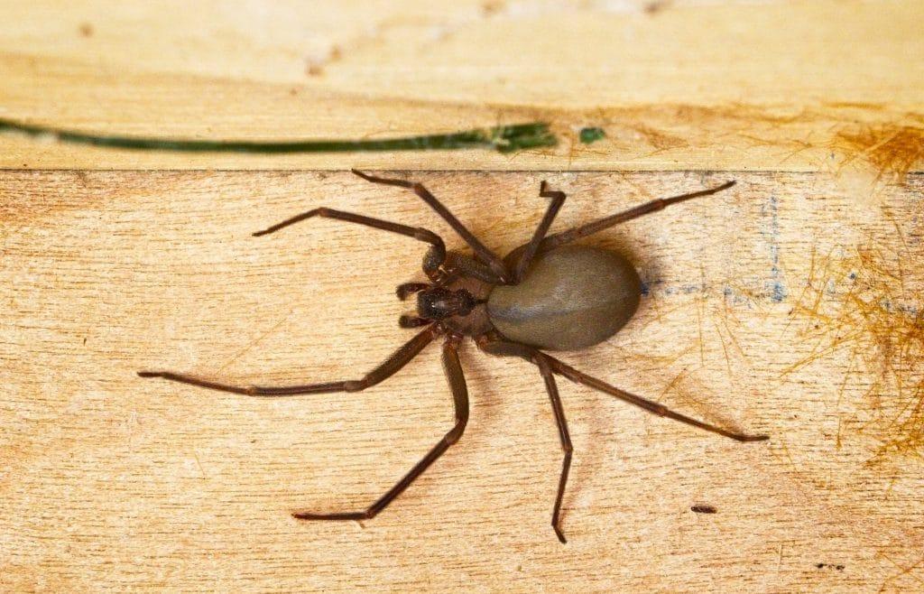 brown recluse spider Foundation Pest Control Memphis