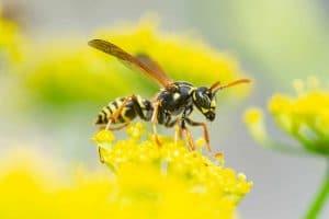 Yellow Jacket Wasp Foundation Pest Control Memphis