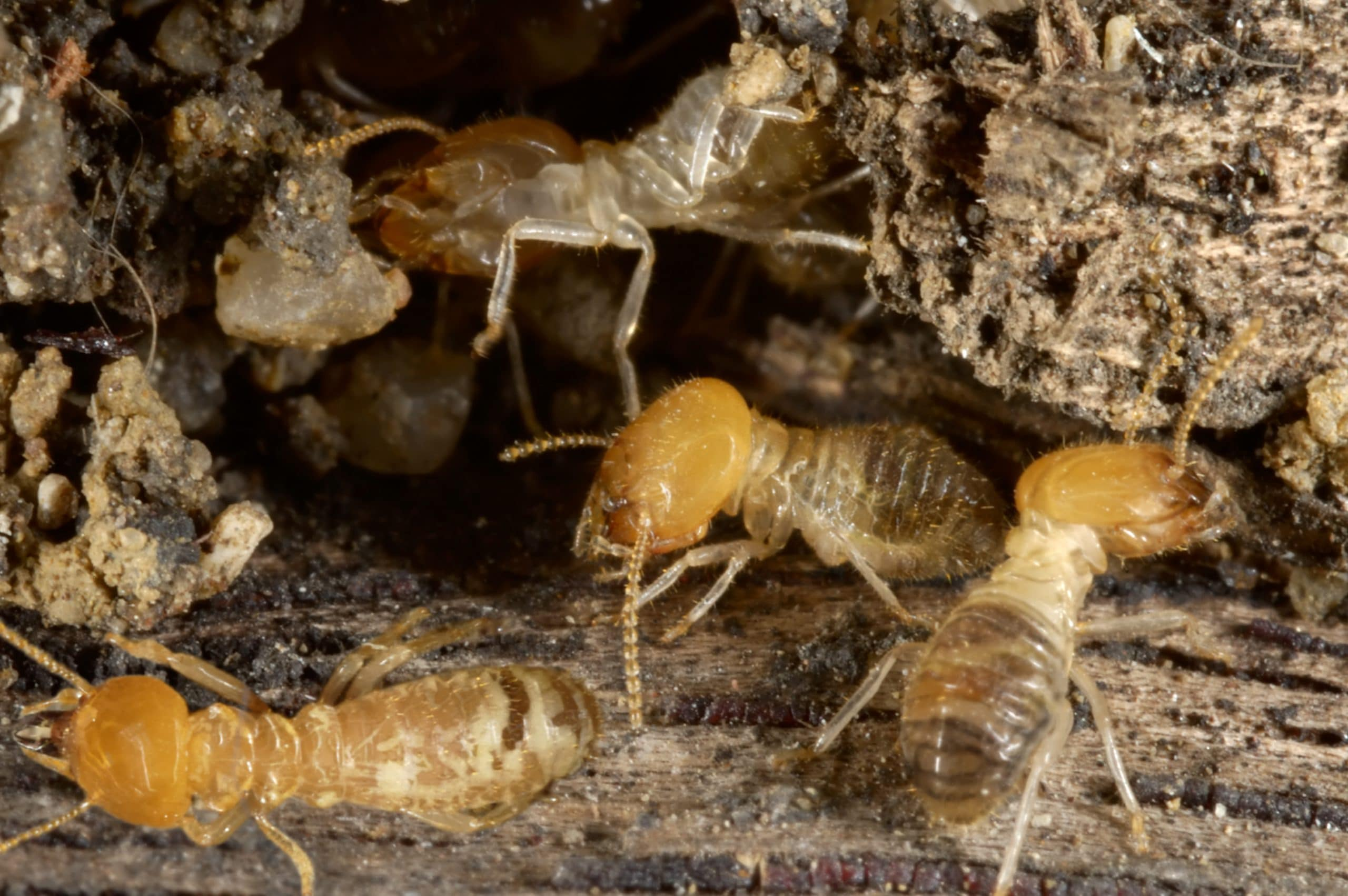 """Featured image for """"Termite Home Inspection"""""""